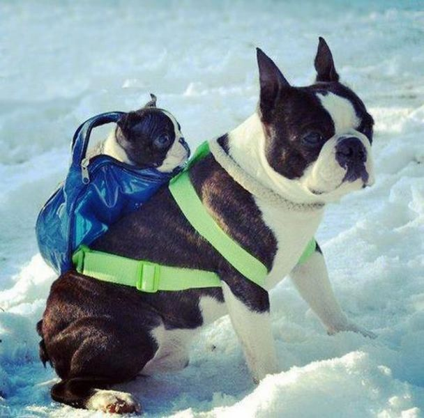 This is a first for me!!!  Mama dog transporting baby pup through the snow in a backpack. Too cute!