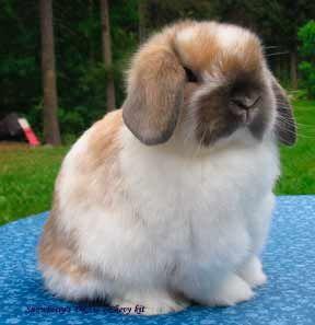 Fuzzy lop bunny