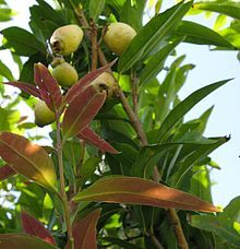 Descriptions and articles about the Rose-apple - Syzygium jambos - Pommeroos - Encyclopedia of Life