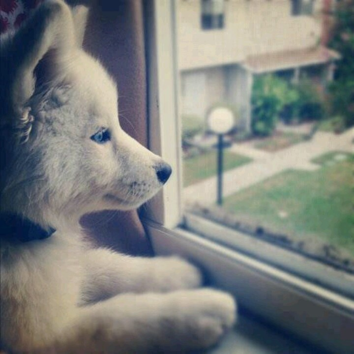 Resultado de imagen para husky staring pinterest
