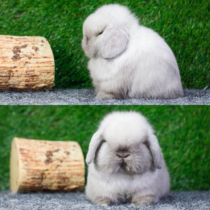 Sable Point Holland Lop #bunnyvilla