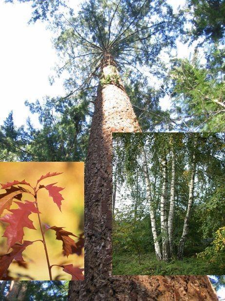 Motivatie: berk en Amerikaanse eik zijn snel groeiende boomsoorten. De berk is een inheemse soort die op bijna iedere bodem kan groeien. Ook de Amerikaanse eik groeit goed, op de vochtige leemhoudende zand zandgronden waar we deze boomsoorten gaan aanplanten. De douglasspar is een halfschaduwsoort die optimaal groeit op vochtige, leemhoudende zandgronden.  Door eerst de berk en Amerikaanse eik aan te planten  en later de douglassparen aan te planten, zorgen we voor schaduw,hierdoor rechte…