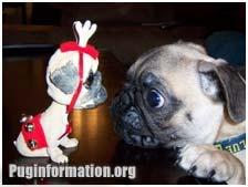 pug pics funny | Pug History | Pug Health and Care | Pug Appearence | Pug Temperament ...   twins adorible