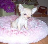 Chihuahua newborn puppies little | Chihuahua Breeders - Chihuahua Puppies