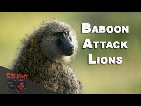 Baboon chases Lion around and pull Lion's tail [Caught in the Act RAW]
