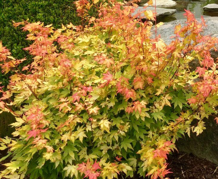 Acer palmatum ' Orange Dream'