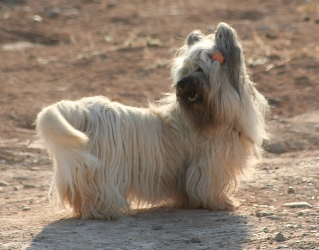 Skye Terrier - Scottish - Small Sized Terriers