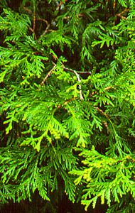 today in school people think this is a juniper like no its A WHITE CEDAR
