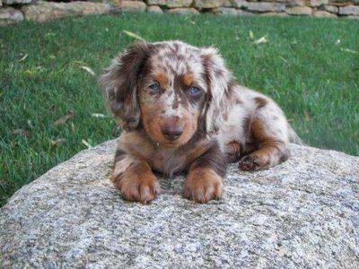 Australian shepherd, Dapple dachshund and So cute on Pinterest