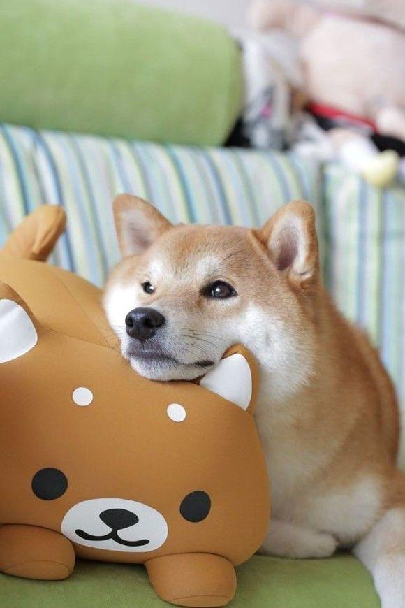 【見てるだけで元気でる】「柴犬を飼っているお宅の日常」(14枚) | COROBUZZ