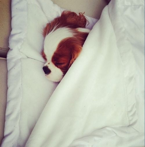 "Cavalier King Charles.......I always think of ""Elizabeth Taylor"" ~ SATC"