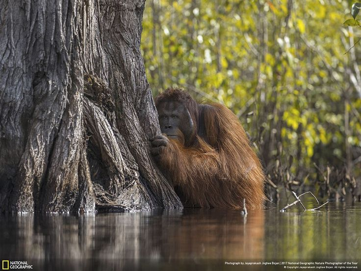 A male orangutan peers from behind a tree while crossing a river in Borneo, Indonesia. Rampant palm oil cultivation threatens this critically endangered ape, forcing the normally arboreal species to resort to unusual behavior—such as wading through crocodile-infested rivers—in order to survive. JAYAPRAKASH JOGHEE BOJAN