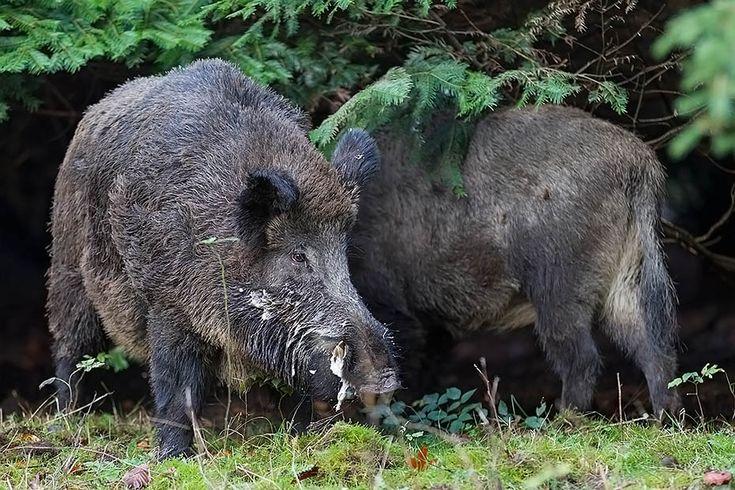 Spectacular Wildschweinkeiler im Portraet Schwarzkittel Wildschwein Sus scrofa Wild Boar tusker in portrait Wild Boar Feral Pig Pinterest Wild boar