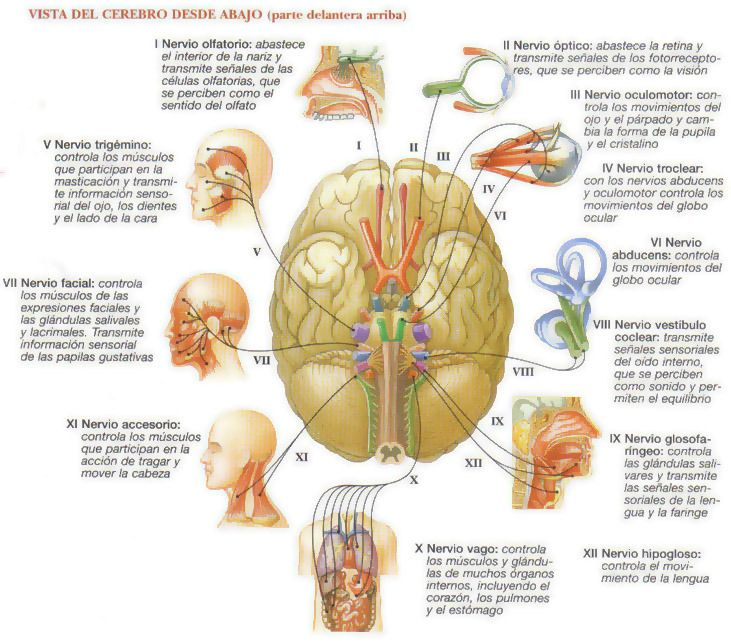 EXPLORACIÓN DE PARES DE NERVIOS CRANEANOS | Medicina Interna al día