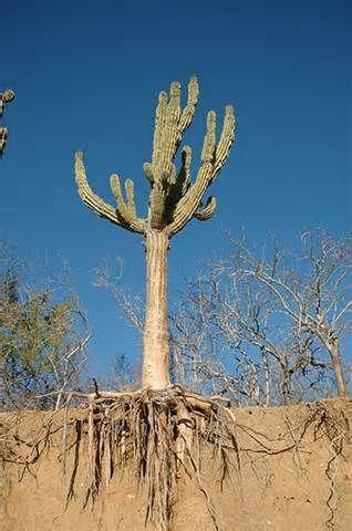 Cactus roots desert Bing Images Inspiration Image