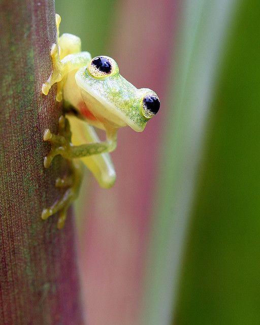 Hyalinobatrachium vireovittatum, glass frog, Panama
