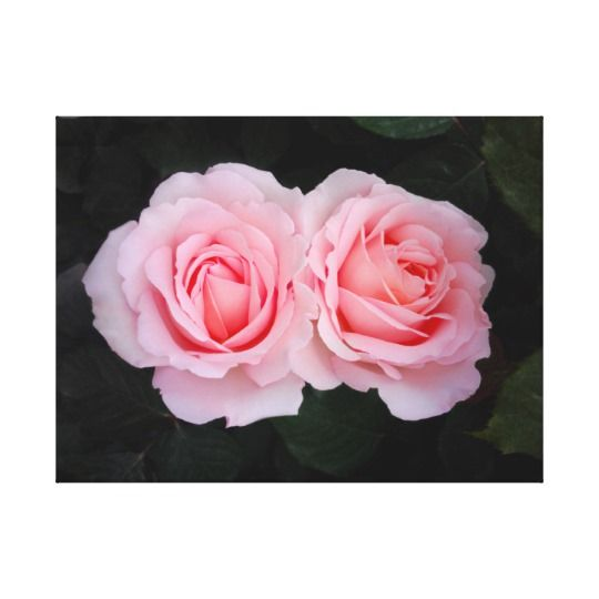 Dreamy Roses Canvas by www.zazzle.com/htgraphicdesigner* #zazzle #gift #giftidea #pink #rose #roses #canvas #print