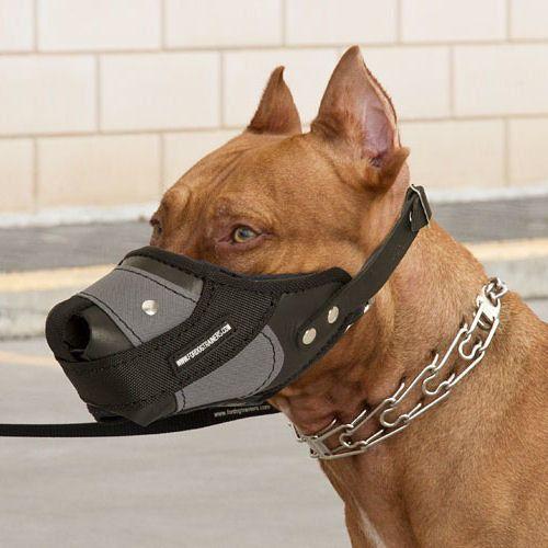 Pitbull Hunde Maulkorb Geschlossen