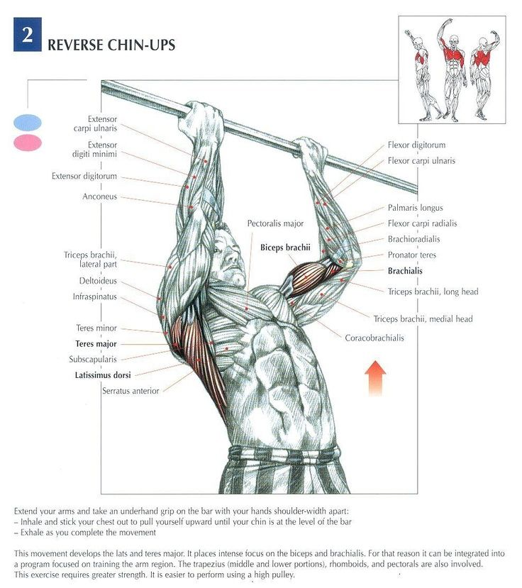 This picture shows both the parts of your body involved in doing a reverse chin-up and helpful tips on what do while doing them. Chin-ups help build muscular endurance.