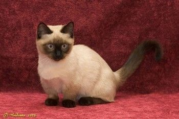 Munchkin Cat Breeders in Your Area | Absolutely Cats
