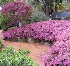 Lorapetalum give a lot of love and stand a whole lot of pruning. White, cream, pink, purple or vibrant red.
