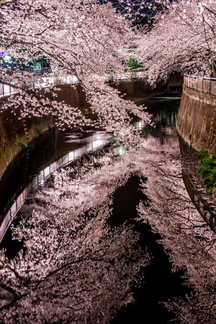 Cherry trees at Meguro river, Tokyo, Japan 中目黒の桜