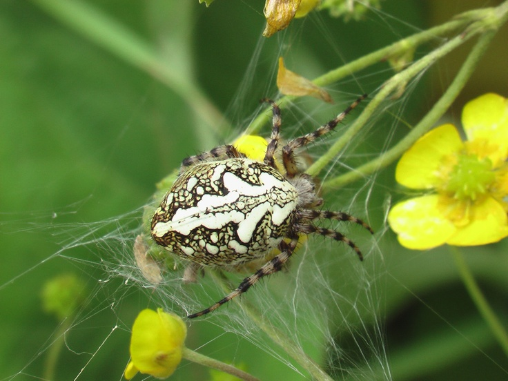 Один из самых красивых пауков в природе - Aculepeira ceropegia или паук-дубовик. Называется так из-за узора на брюшке, напоминающего лист дуба. Плетёт паутину, похожую на паутину паука-крестовика, родственником которого он и является.