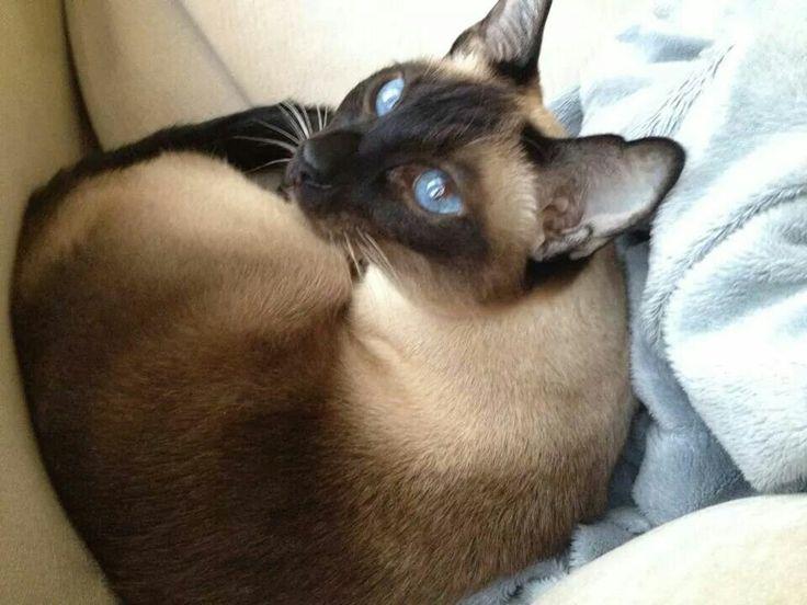 A siamese cat named Jasmine.  Beautiful.