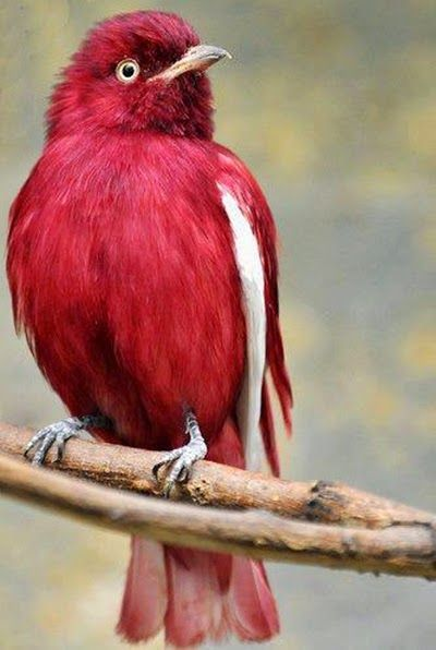 Anambé-roxo ( Xipholena punicea)                                                                                                                                                                                 Mais