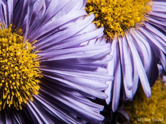 dave.m Lila virágok 2. című képe az Indafotón. http://davemphoto.blogspot.hu/