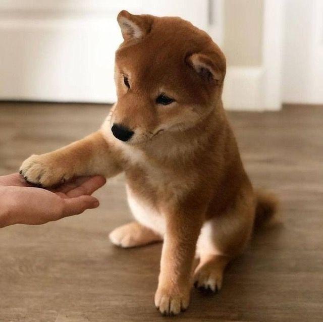 Shiba Inu Shiba Inu Welpe Shiba Inu Welpen Hunde