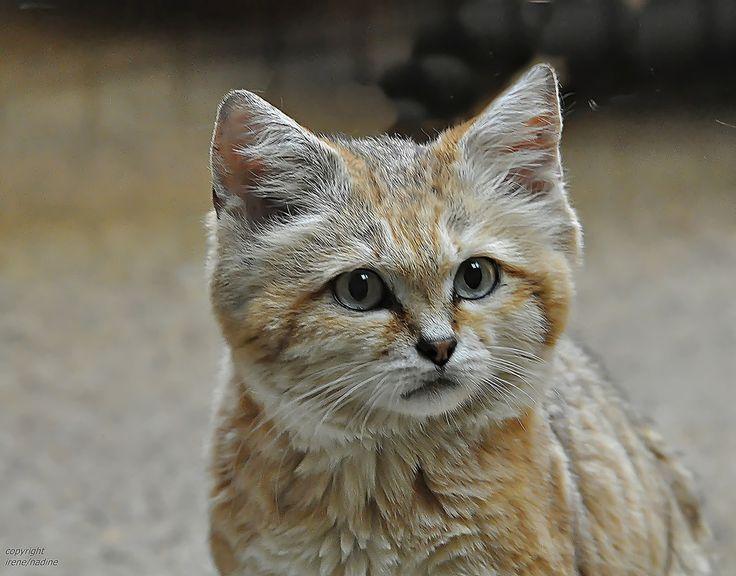 """Was die Kleinkatzen angeht hat er Zoo Wuppertal einges zu bieten!   Sandkatze Demi saß aber leider direkt an der schmierigen Scheibe und wir hatten ein paar Problem überhäupt ein halbwegs brauchbares Foto zu """"ergattern""""...   Leider hat die Schärfe etwas gelitten...   Foto vom 22.5.2011   Und wieder ein Gruß an alle Katzenfreunde in der FC!   Mit diesem Foto beenden wir unsere Monday Katzenserie...wir hoffen sie hat euch gefallen ?!"""