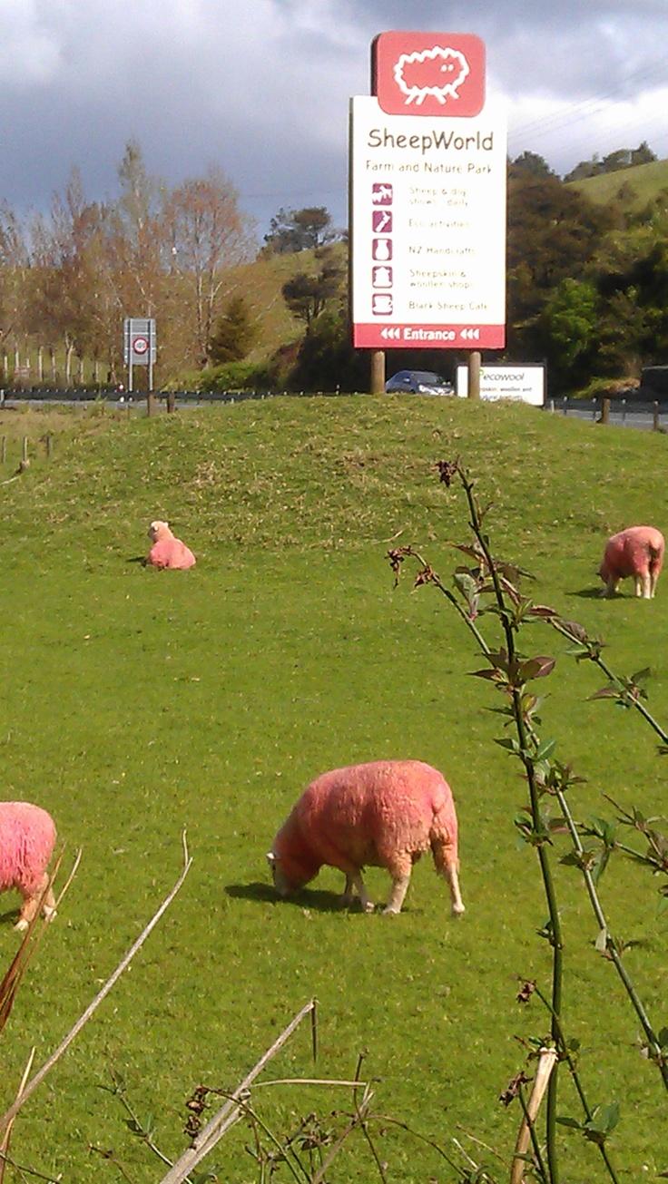 MATAKANA TO DO - Sheepworld famous for its pink sheep.  *No animals were harmed in the process.    #attraction #auckland #matakana