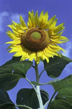 Sunflowers inspire more efficient solar power system - neat science article