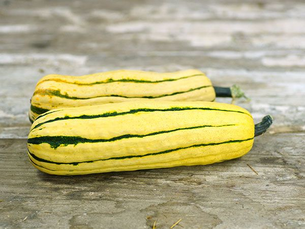 The lovely Delicata has a high sugar content, squash are 1-3 lbs. each and skin color is rust-white with green stripes. Plant Delicata seeds!