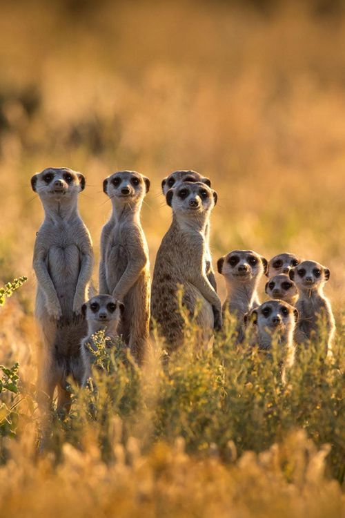 """""""Is it our turn yet? - Suricate family  by Christophe JOBIC"""