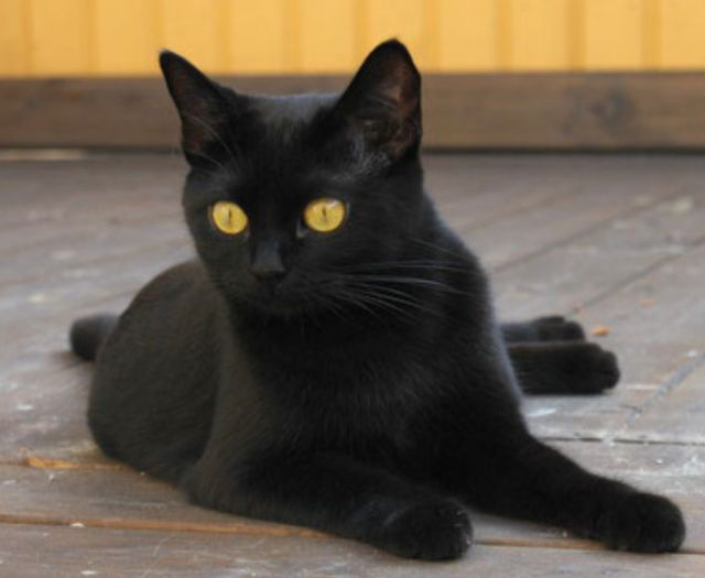 Bombay Cat | Photograph of Black cats of bombay kittens