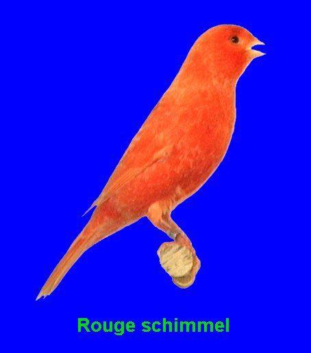 La tonalité rouge doit être soutenue, lumineuse et uniforme sur tout l'oiseau. Le bout des plumes est dépigmentée ce qui donne l'aspect d'écaillage blanc sur fond rouge. Les écailles doivent être pas trop grosses, présentes sur tout l'oiseau notamment en poitrine et sans condensation au niveau du cou (collier fautif).