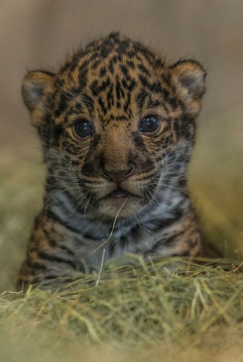 17 Best images about jaguar on Pinterest | Zoos, Baby ...