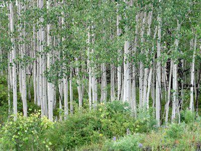 Aspen Trees In The Summer Tree Hugger Aspen Trees