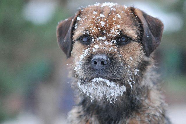 Chewie, border Terrier