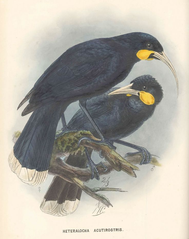 "Huia.  From ""Buller's Birds of New Zealand"".  Painted by JG Keuleman 1873"
