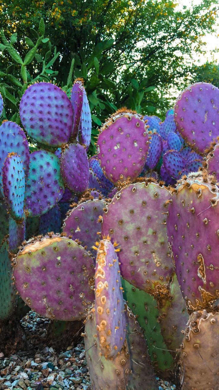 Prickly Pear Desert Botanical Gardens Phoenix, Arizona By
