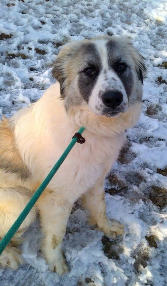17 Best images about GREAT PYRENEES - US LOST DOG REGISTRY ...