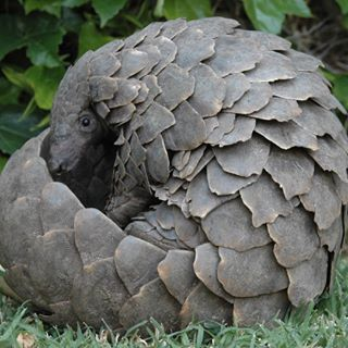 """Today is #WorldPangolinDay! Most people have never even heard of a pangolin, but they are one of the cutest, and most endangered, species in the world! What sets these """"scaly anteaters"""" apart is the fact that they are the only mammal completely covered in scales. Their scales are made of keratin, just like our hair and fingernails, but unfortunately some believe they have """"medicinal"""" value. To make it worse, their meat is considered a status symbol, making them a delicacy. Thus, millions of…"""