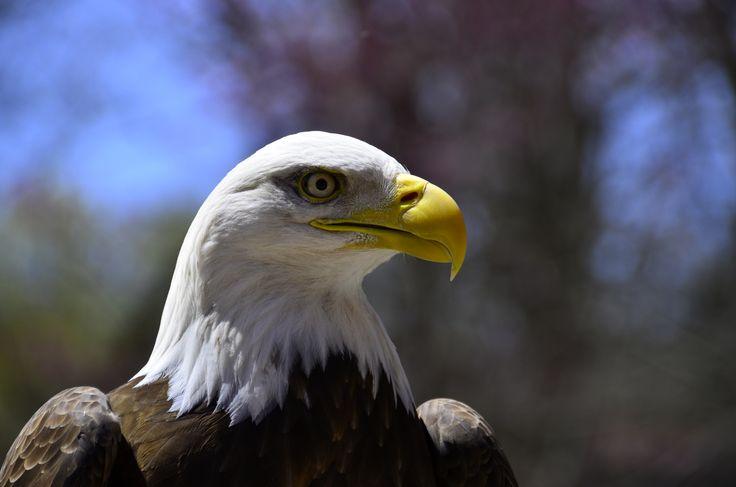 bald eagle Nikon D7000