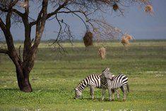 Passage To Africa - Serengeti - Tanzania #Zebra #Landscape