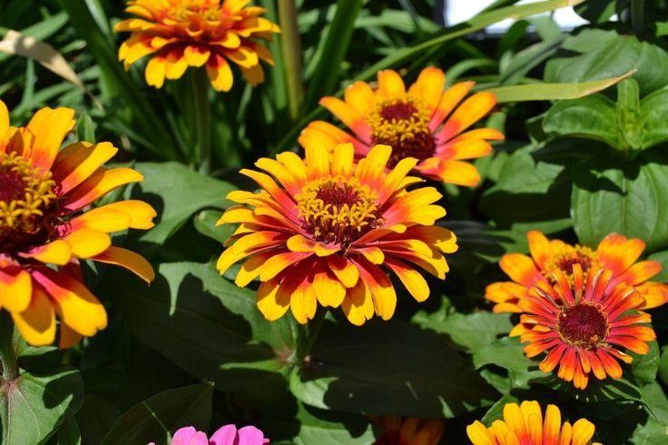 Für alle, die ihr #Blumenbeet noch etwas aufpeppen wollen. #Zinnien sind pflegeleichte #Dauerblüher für den #Sommer. Wissenswertes über diese Pflanze findet Ihr hier https://freudengarten.de/show/126 #Sommer, #Sommerblume