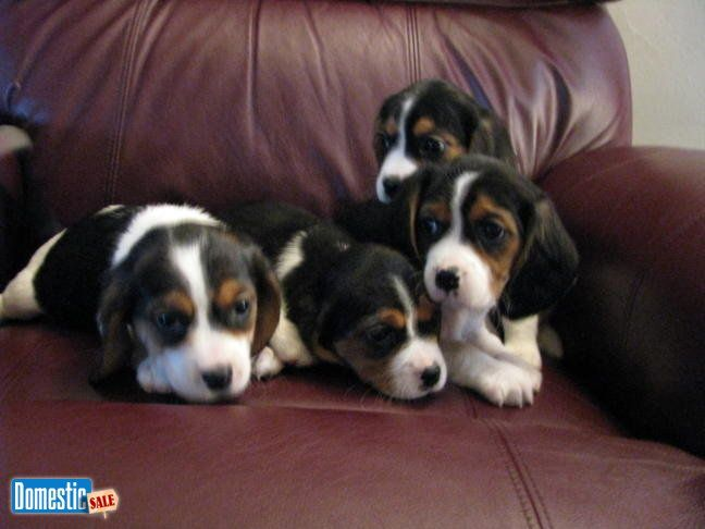 Adorable Designer Beaglier puppies for sale I have 6 adorable little boys and 4…