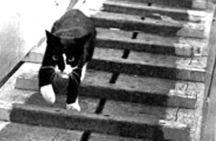 A cat nicknamed Unsinkable Sam survived the sinking of three different battleships during WWII.